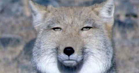 チベットスナギツネの画像(プリ画像)