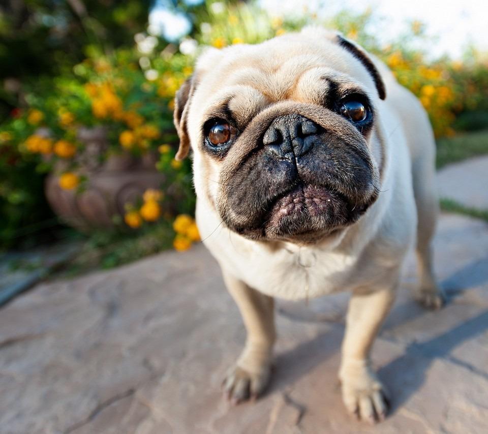 いぬ イヌ 犬 動物 かわいい 壁紙 待ち受け 高画質 17265418 完全