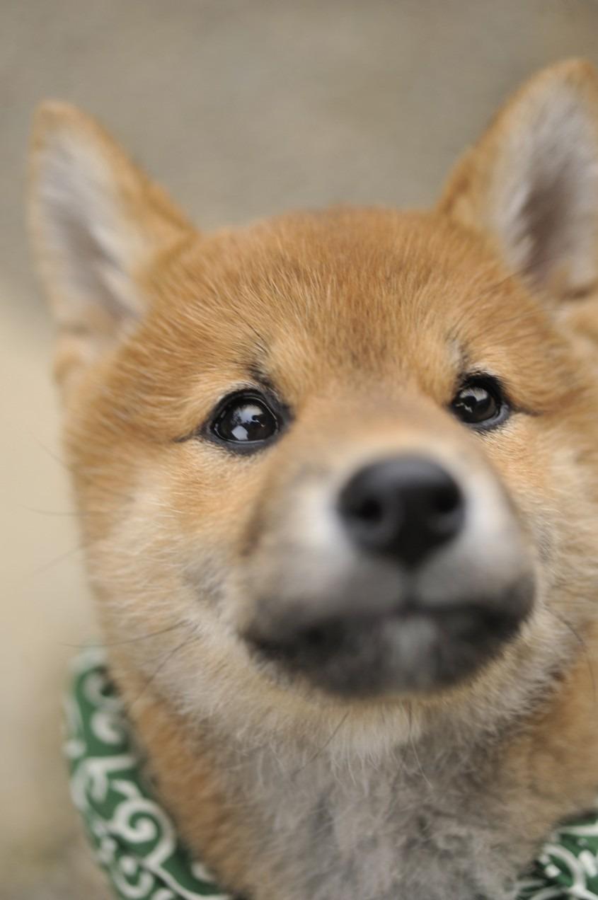 いぬ イヌ 犬 動物 かわいい ...