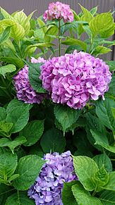 紫陽花 プリ画像
