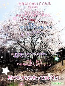 桜の木 プリ画像