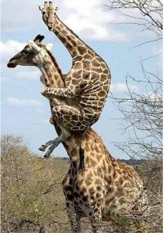 Cartoon Pictures Of Giraffes