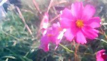 【JPG-フ(L5141-xx)】 風景 》花咲/コスモスの画像(コスモスに関連した画像)