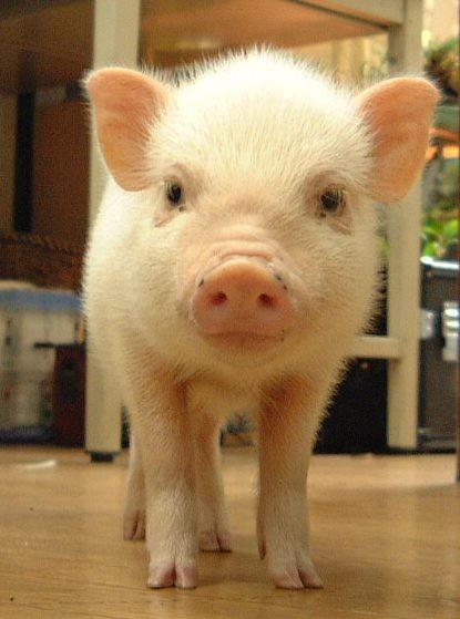 ミニブタ 豚 可愛い 動物の画像 プリ画像