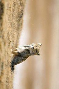 チベットスナギツネ 狐 動物 可愛い プリ画像