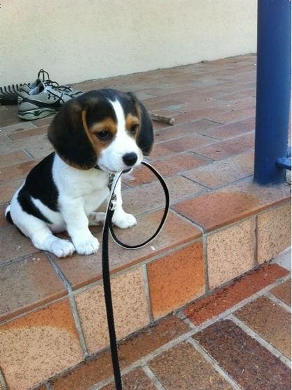 リードをくわえるかわいい子犬