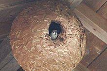 スズメバチの巣から雀(笑)の画像(スズメバチに関連した画像)