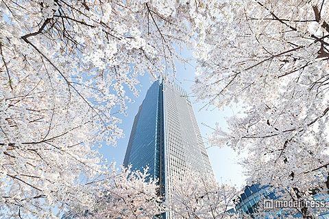 幻想的な夜桜ライトアップも 東京ミッドタウンで期間限定花見イベント開催の画像 プリ画像