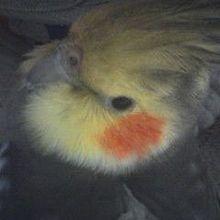 ちゃんもも◎オカメインコインコ鳥ももちゃんかわいいの画像(プリ画像)