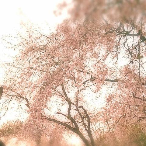 夕焼け桜の画像(プリ画像)