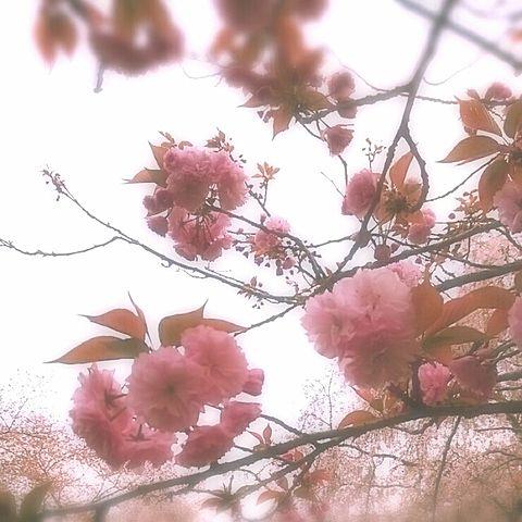 ぼたん桜の画像(プリ画像)
