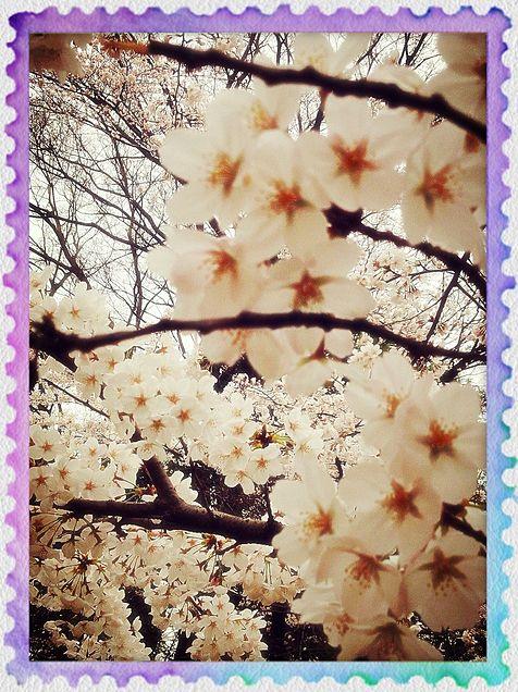 桜...♪*。の画像(プリ画像)