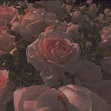 薔薇の画像(黒加工に関連した画像)