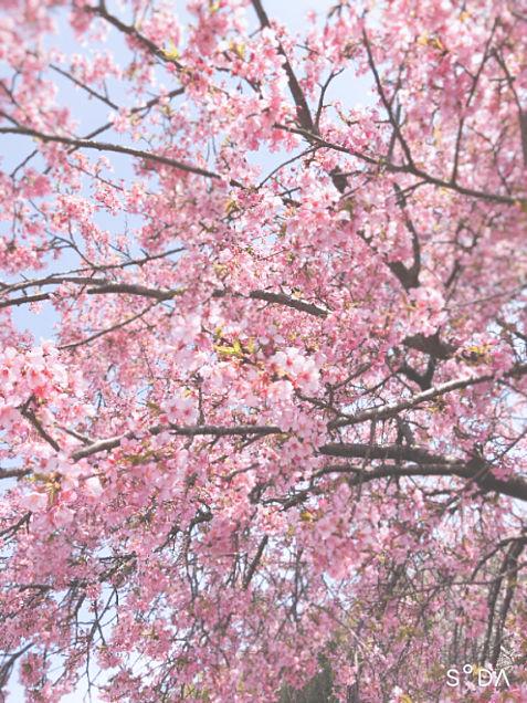 梅の画像(プリ画像)