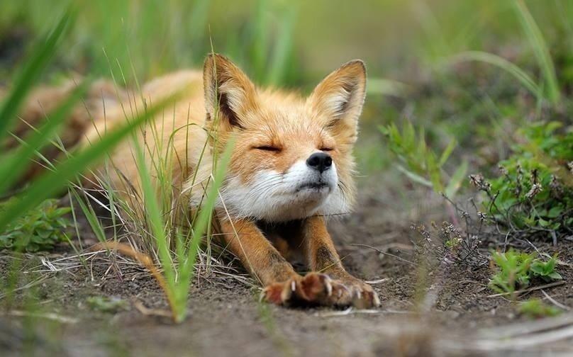 きつね/キツネ/狐画像を集めるスレ [転載禁止]©2ch.net YouTube動画>6本 ->画像>469枚