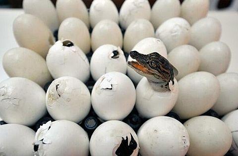 ワニの赤ちゃんが卵から孵る[29609558]|完全無料画像検索のプリ画像 byGMO