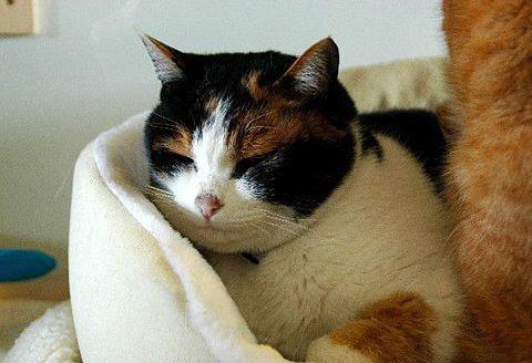三毛猫の画像 p1_7