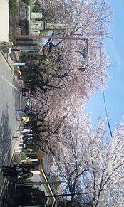 満開の桜の画像(満開に関連した画像)