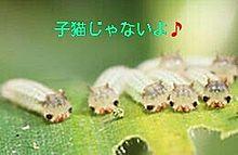 ❤子猫似の幼虫❤ プリ画像