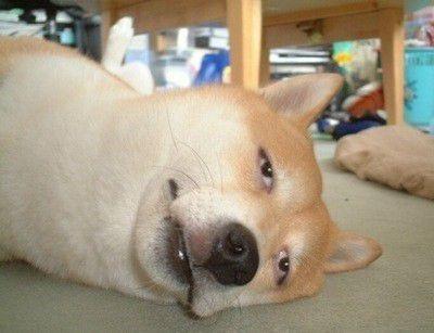 犬 いぬ イヌ わんこ 動物 おもしろ ネタ 可愛いの画像 プリ画像