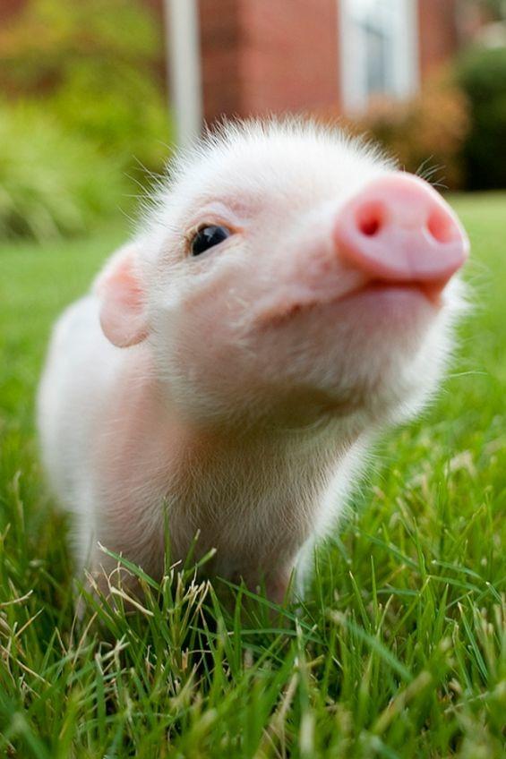 興味津々の豚