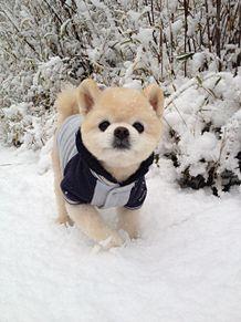 ポメラニアン 俊介くんの画像(犬 冬 素材 待ち受けに関連した画像)
