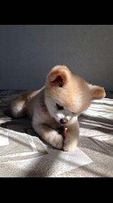 ポメラニアン 俊介くんの画像(ホムペ/HP/ブログ/素材に関連した画像)