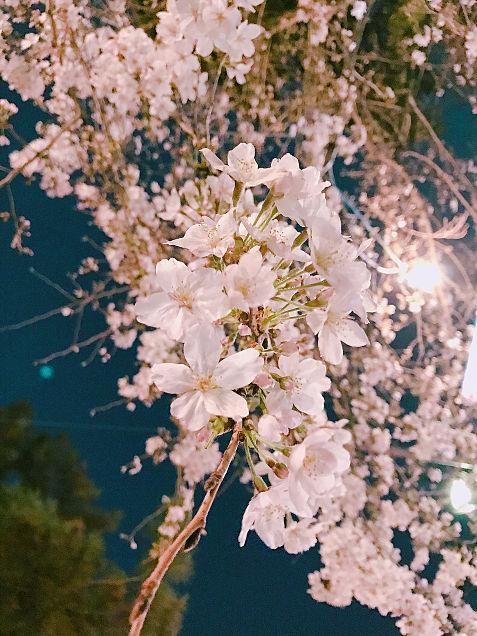 桜 保存→画質◎の画像(プリ画像)