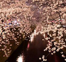 桜トンネルの画像(目黒川に関連した画像)