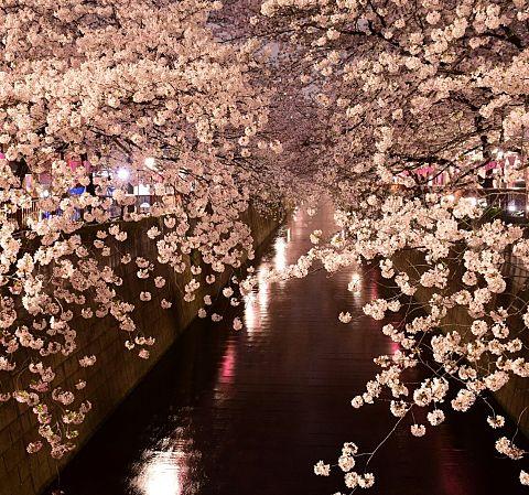 桜トンネルの画像 プリ画像