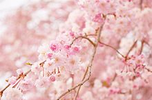 cherry blossom pinkの画像(プリ画像)