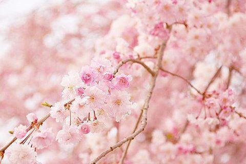 cherry blossom pinkの画像 プリ画像
