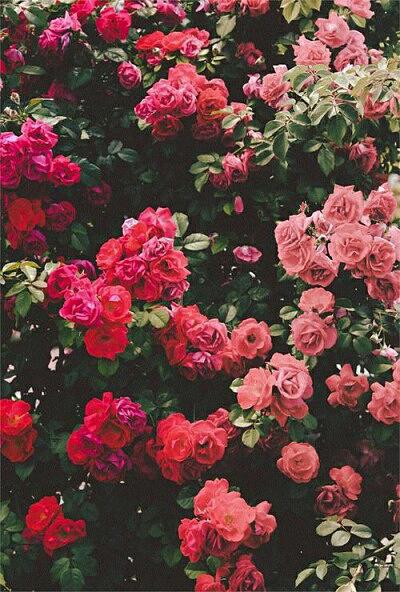 flower red pinkの画像 プリ画像