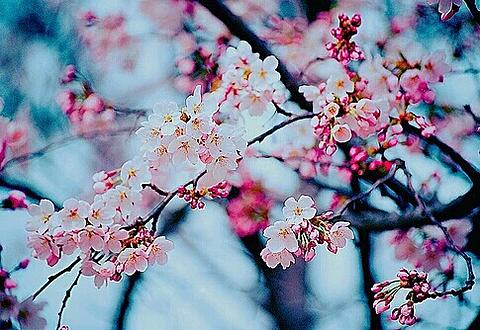 cherry blossomの画像(プリ画像)