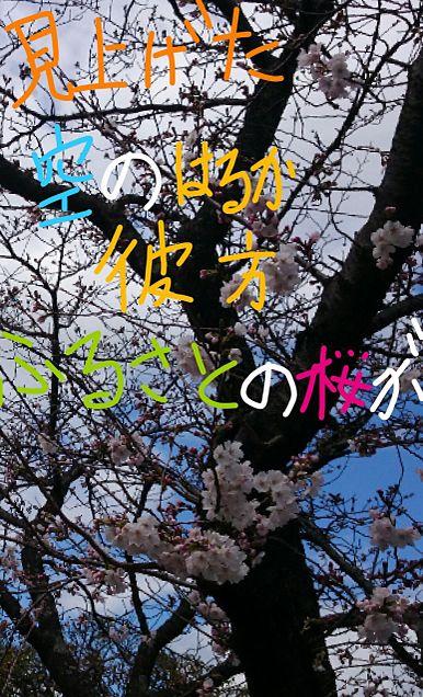 今年の桜2の画像(プリ画像)