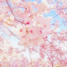 🌸cherryblossoms🌸の画像(springに関連した画像)