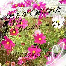 秋桜 プリ画像