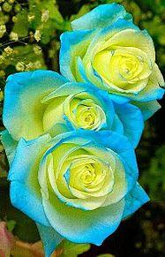 5月の花*バラの画像(プリ画像)