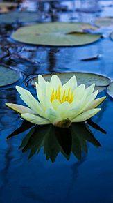 7月の花*睡蓮の画像(プリ画像)