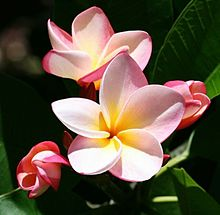 7月の花*プルメリアの画像(プリ画像)
