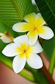 夏の花*プルメリアの画像(プリ画像)