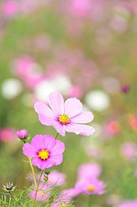 9月の花*コスモスの画像(プリ画像)
