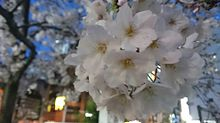 秋葉原の銘桜の画像(秋葉原に関連した画像)