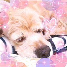 愛犬ちゃんの画像(スパニエルに関連した画像)