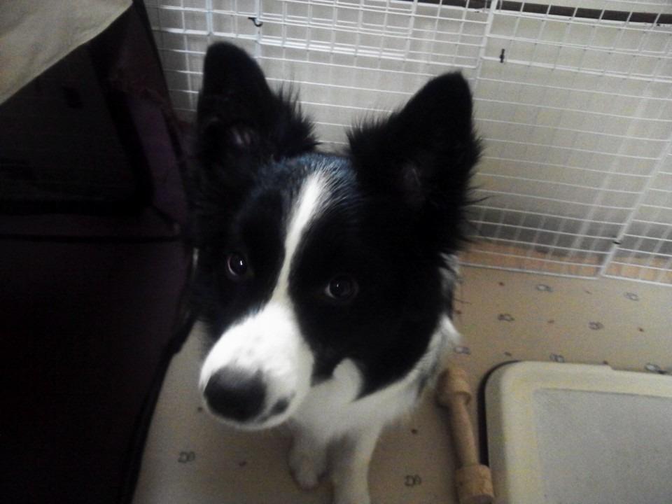 ボーダーコリー/犬/かわいい