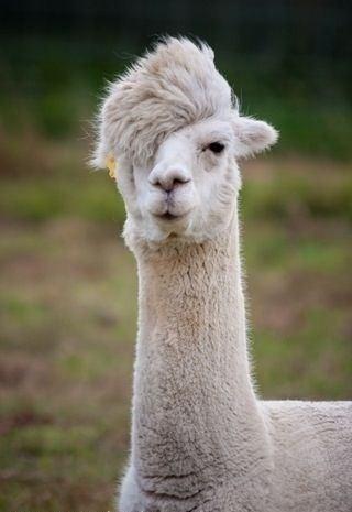 個性的なヘアスタイルのかわいいアルパカの壁紙