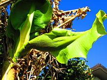 バナナの蕾 プリ画像
